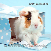 Xavier, ANIMALS, REALISTISCHE TIERE, ANIMALES REALISTICOS, photos+++++,SPCHGUINEA140,#A#, EVERYDAY ,funny