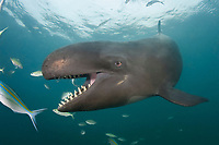 false killer whale, Pseudorca crassidens, with open mouth, showing rows of teeth (c)