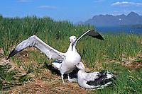 Animais. Aves. Albatroz viajeiro ( Diomedea exulans) em dança de acasalamento. Ilha da Geórgia do Sul. Foto de Maristela Colucci.