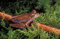 TROSCHEL'S TREE FROG..Range includes the Guianas, Amazon Basin from Colombia south to Bolivia, and Orinoco Basin in Venezuela and Brazil..Captive. (Hyla calcarata).
