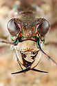 Northern Dune Tiger Beetle (Cicindela hybrida) portrait. Ainsdale Nature Reserve, Merseyside, UK. April. Photographer: Alex Hyde