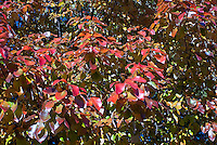 Nyssa sylvatica 'Dirr Selection' Black Gum tree in autumn color