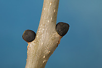 Esche, Gemeine Esche, Gewöhnliche Esche, Knospe, Knospen, Fraxinus excelsior, Common Ash, European Ash, bud, buds, Le Frêne commun, Frêne élevé