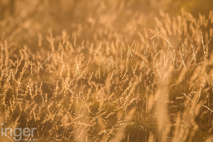 Spinifex flowers in the late afternoon sun at Neale Junction Nature Reserve in Western Australia