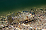 Rock Bass swimming right