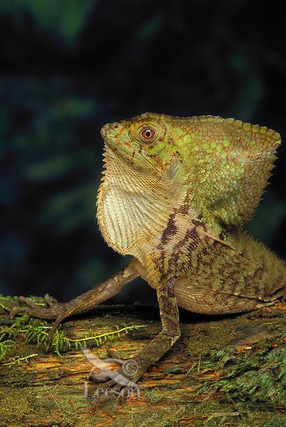 Helmeted Iquana/Helmeted Basilisk..Mexico through Central america..Captive. (Corytophanes cristatus).