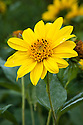 Helianthus 'Capenoch Star', mid August. A hardy herbaceous perennial sunflower with anemone-centred rich yellow flowers in  August and September.