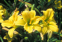 Daylily Green Flutter Hemerocallis yellow daylilies with green throat in summer bloom