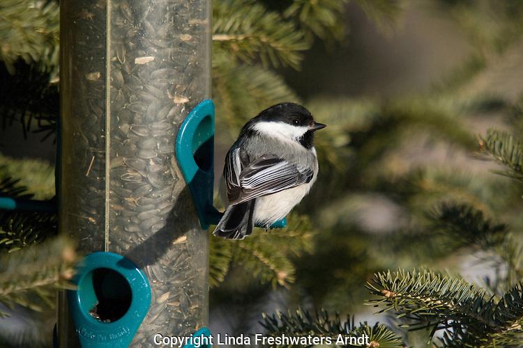 Black-capped chickadee in winter