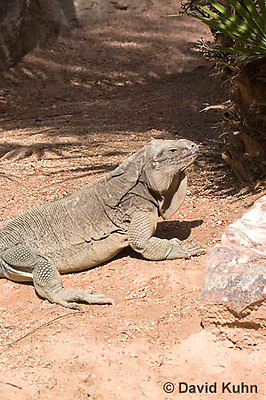 0628-1102  Anegada Ground Iguana (Stout Iguana), Cyclura pinguis  © David Kuhn/Dwight Kuhn Photography