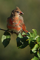 Northern Cardinal in transitional plumage, with dramatic early morning side lighting.