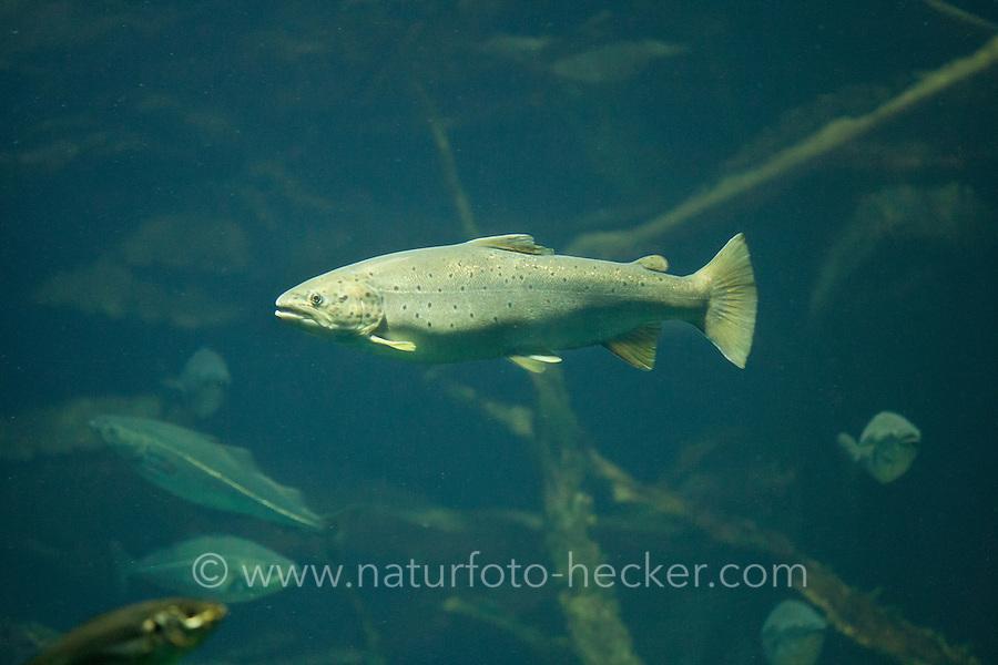 Meerforelle, Meer-Forelle, Forelle, Salmo trutta trutta, Salmo trutta, brown trout, sea trout, Atlantic trout, anadromer Wanderfisch, anadrom, anadromous