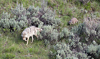 I finally got to witness the cooperative hunting behavior between a coyote and badger, after hearing about it for many years.