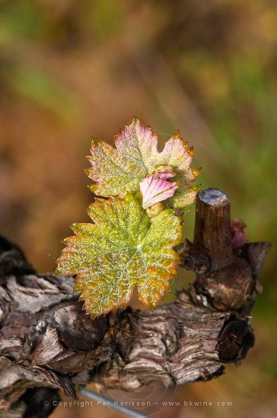 new leaves and flower buds ch gd barrail lamarzelle figeac saint emilion bordeaux france