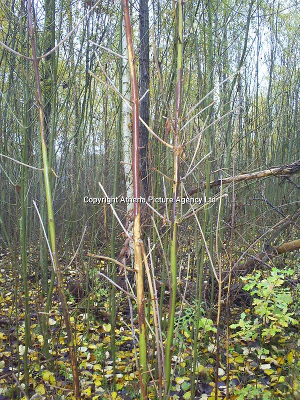 "Pictured: Pathological form of twigs of Fraxinus excelsior comes from Chalara fraxinea (nearly five year old trees).<br /> Re: Millions of diseased trees near buildings, roads and railways will have to be cut down because of a deadly fungus which is spreading through the ash trees  in the UK, a lot quicker than anticipated.<br /> Natural Resources Wales (NRW) warned of a ""very significant impact"" on the landscape and the Welsh government is setting up an expert group to advise on the issue.<br /> Wales has been particularly affected by the spread of ash dieback, which was first identified in the UK in 2012<br /> Its proper name is Chalara dieback, named after a fungus called Chalara fraxinea<br /> Symptoms include lesions at the base of dead side shoots, wilting and lost leaves and a killing off of new growth on mature trees<br /> The disease is spread by released spores and has swept across Europe over the past 20 years, affecting about 70% of ash in woodland<br /> Ash is an important species for nesting birds, insects and fungus<br /> It does not pose a risk to human or animal health"
