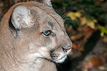 Mounatin lion close-up face side view.