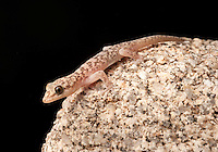 Peninsular Leaf-toed Gecko - Phyllodactylus nocticolus - An acrobatic, boulder-dwelling gecko whose range barely extends into the United States from Baja. They squeak when disturbed.
