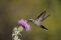 Blue-throated Hummingbird (Lampornis clemenciae), male feeding on blooming Texas thistle (Cirsium texanum), Chisos Basin, Chisos Mountains, Big Bend National Park, Chihuahuan Desert, West Texas, USA