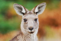 Western Grey Kangaroo (Macropus fuliginosus), adult, Australia
