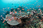 Verde Island, Oriental Mindoro, Philippines; an aggregation of chromis and scalefin anthias fish swimming over the coral reef