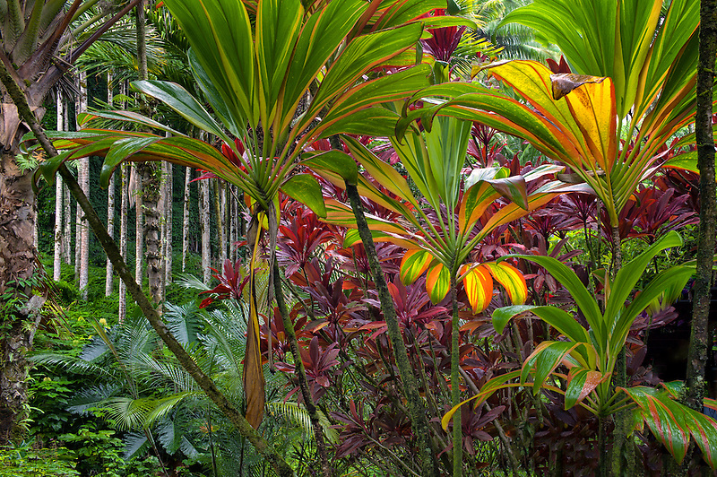 Ti plants. Hawaii Tropical Botanical Gardens. Hawaii, The Big Island.Hawaii,