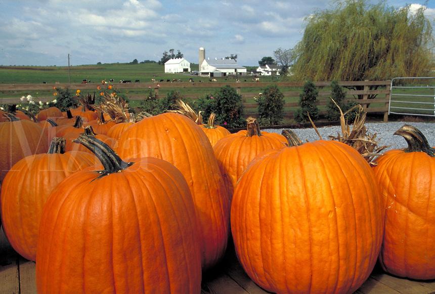Pumpkin harvest with farm in background. Strasburg Pennsylvania USA Lancaster County.