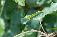 Sichelschrecke, Gemeine Sichelschrecke, Männchen, Phaneroptera falcata, Sickle-bearing Bush-cricket, Sickle-bearing Bush cricket, male, Phanéroptère commun, Sichelschrecken, Phaneropteridae