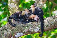 white-headed capuchin, Cebus capucinus, aka white-faced capuchin, or white-throated capuchin, group, socializing, grooming, resting on tree, Manuel Antonio National Park, Costa Rica