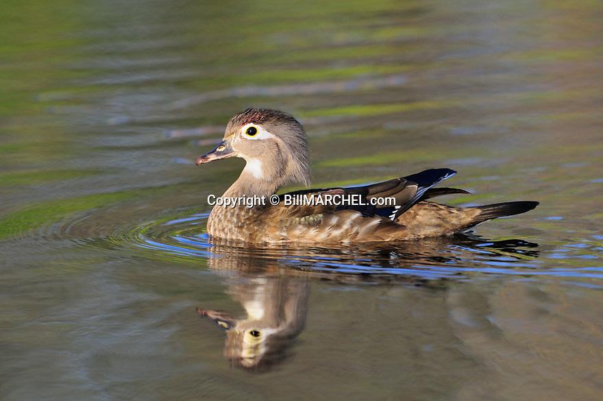 00360-114.11 Wood Duck hen is on the water of small marsh.  Hunt, waterfowl, wetlands.