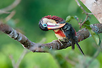 Adult curl-crested aracari (Pteroglossus beauharnaesii) preening in rainforest canopy. Lowland rainforests near Cristalino Jungle Lodge, Cristalino State Park, Brazil.