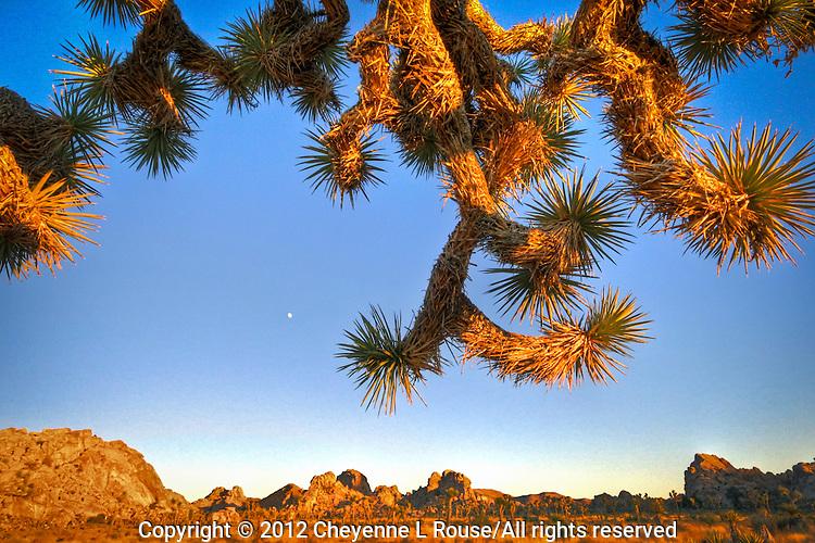 Crazy Tree - Joshua Tree National Park, CA