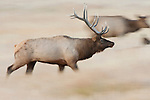 During the fall rut, a bull elk runs among his harem in a meadow in Yellowstone National Park, Wyoming.