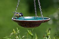 Kohlmeise an der Vogeltränke, Tränke, trinkend, Trinken, Wasser, Wasserschale, Trinknapf, Kohl-Meise, Meise, Meisen, Parus major. Great tit, Bird bath, drinking trough