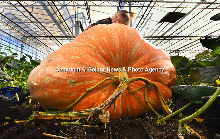 Pictured :  Martha Syrett, 2, with one of her grandad's giant pumpkins which has been grown at Pinetops Nursery in Hampshire.<br /> <br /> Pumpkin grower Ian Paton is celebrating after his supersized squashes grew to their largest ever size.<br /> <br /> Each one of his six pumpkins, cultivated at Pinetops Nursery in Hampshire, grew at an astonishing 50lbs a day for three weeks, guzzling 150 gallons of water a day before weighing in excess of 2000lbs - more than a Smart car.<br /> <br /> The largest pumpkin measured just shy of a staggering 20 feet in circumference.<br /> <br /> © Roger Arbon/Solent News & Photo Agency<br /> UK +44 (0) 2380 458800