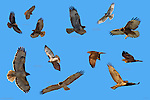 Red-Tailed Hawk Morphs in Flight; Light, Intermediate and Dark Red-Tail; Juvenile Southwestern Red-Tail; Intermediate and Dark Rufous Morph Red-Tail; Light Morph Harlan's Red-Tail; Buteo jamaicensis, Composite Image