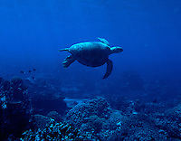 "Sea Turtle, Palmyra Atoll. The largest purchase to date for the Nature Conservancy is the Palmyra an atoll situated about 300 miles north of the equator.  Palmyra has five times as many coral species as the Florida Keys and three times as many as Hawaii.  It is home to the world's largest invertebrate, the rare coconut crab, and a population of red-footed booby birds second only to that of the Galapagos.  It is the last marine wilderness area left in the U.S. tropics and is home to the last remaining stands of Pisonia grandis beach forest in the world.  Palmyra was a US Navy supply base in World War II, the site of a proposed nuclear waste dump, an unsuccessful coconut plantation and of various development schemes.  Palmyra is most famous for the 1974 slaying  of a married couple which became the subject of the best-selling book ""And the Sea Will Tell,"" by Vincent Bugliosi."