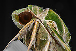 Pictured:  Oleander hawk-moth (Daphnis nerii)<br /> <br /> A series of spellbinding close-up images of insects make them look like aliens.  Amateur photographer Marcus Kam Seong Sit captured the macro shots of a range of bugs including the longhorn beetle and bird dung spider. <br /> <br /> The pictures detail the intricate features and patterns of the insects - from the vibrant green of a dragon head caterpillar to the delicate hairs on an orb web spider.  SEE OUR COPY FOR DETAILS.<br /> <br /> Please byline: Marcus Kam/Solent News<br /> <br /> © Marcus Kam/Solent News & Photo Agency<br /> UK +44 (0) 2380 458800
