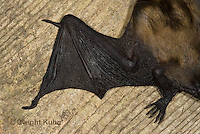 MA20-809z  Big Brown Bat close-up of wing details, Eptesicus fuscus