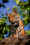 Bengal tiger peers down from its perch on a cliff in Bandhavgarh National Park, Madhya Pradesh, India.