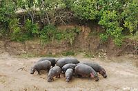Hippopotamus (Hippopotamus amphibius),group in defense formation, Masai Mara, Kenya, Africa