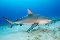 bull shark, Carcharhinus leucas, Playa del Carmen, Mexico, Caribbean Sea, Atlantic Ocean