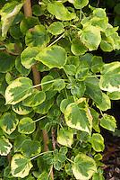 Hydrangea anomala subsp. petiolaris Mirranda, climbing hydrangea vine