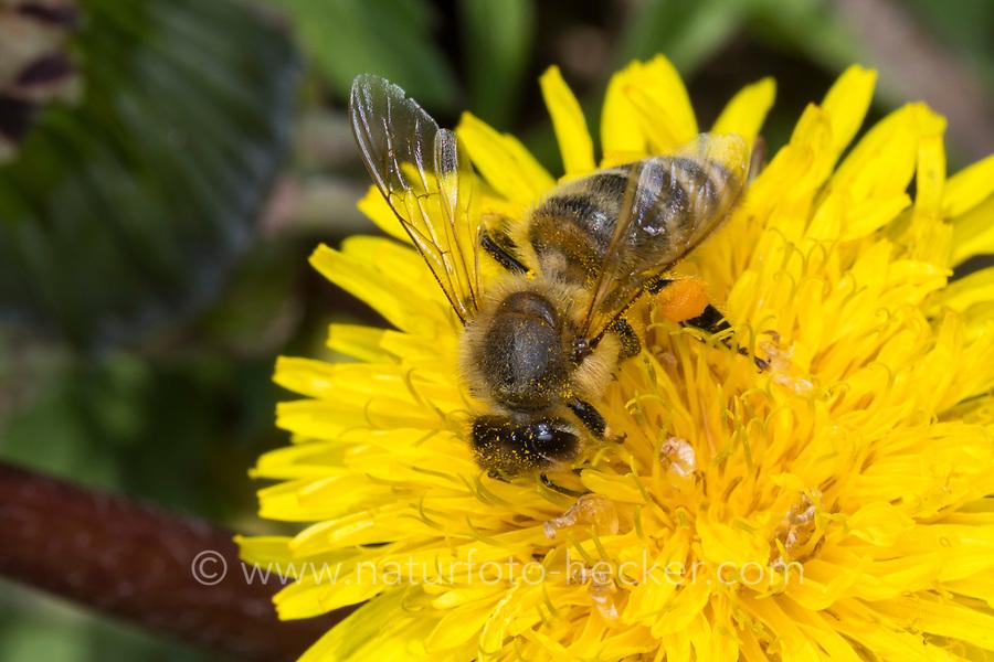 Honigbiene, Honig-Biene, Europäische Honigbiene, Westliche Honigbiene, Pollenhöschen, Pollen, Biene, Bienen, Apis mellifera, Apis mellifica, Blütenbesuch auf Löwenzahn, Nektarsuche, Blütenbestäubung, honey bee, hive bee, western honey bee, European honey bee, bee, bees, L'abeille européenne, l'avette, la mouche à miel