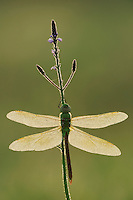 Green Darner (Anax junius), female dew covered backlit at sunrise on Texas Vervain (Verbena halei), Fennessey Ranch, Refugio, Coastal Bend, Texas, USA
