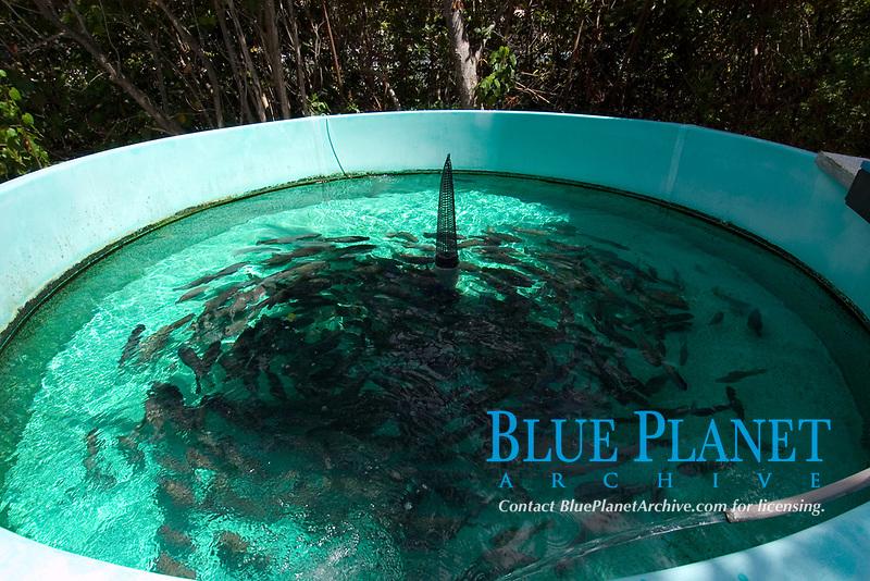 Tank with hundreds of tilapia, Oreochromis mossambicus, Hawaii Institute of Marine Biology, Kaneohe, Oahu, Hawaii