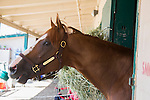 DEL MAR,CA-AUGUST 21: California CHrome at the barn at Del Mar Race Track on August 17,2016 in Del Mar,California (Photo by Kaz Ishida/Eclipse Sportswire/Getty Images)