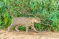 an adult male jaguar, Panthera onca, on the riverbank of the Rio Cuiabá, Mato Grosso, Brazil, South America