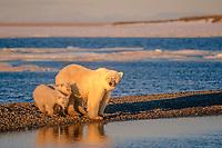 polar bear, Ursus maritimus, mother with cubs along the Arctic coast, 1002 area of the Arctic National Wildlife Refuge, Alaska, polar bear, Ursus maritimus