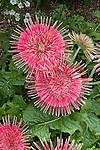 Giant Spinner Red-White Transvaal Daisy, Gerbera hybrid