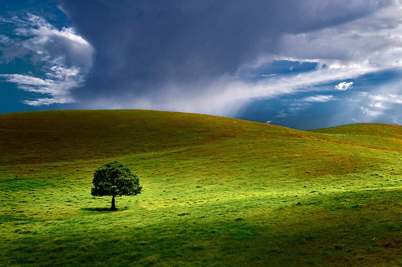 Lone tree in pasture. Hawaii, The Big Island.